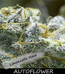 limoncello haze Seeds